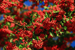 Mountain ash Sorbus tree. Close up Stock Photos