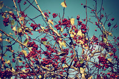 Mountain ash tree berries against the sky - autumn vintage background Stock Image