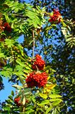 Mountain Ash tree with berries. Royalty Free Stock Photos