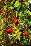 Mountain Ash tree with berries. Stock Photo