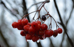 Mountain Ash Tree Berries. Mountain Ash Tree berry cluster with rain glistening on it Royalty Free Stock Photo