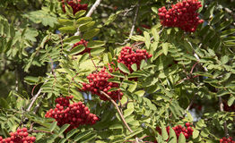 Mountain Ash tree with berries Royalty Free Stock Photography
