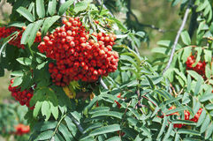 Mountain-ash tree berry Royalty Free Stock Images