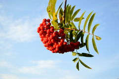 Mountain ash Royalty Free Stock Photo