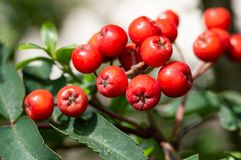 Mountain Ash tree fruit. Close up of red berries. Rowan berries, Sorbus aucuparia. Close up detail of the red cluster of fruit on a Mountain Ash tree. Edible Royalty Free Stock Photography