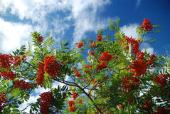 Mountain ash tree in London Royalty Free Stock Images