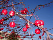 Mountain ash tree with red berries Stock Photos