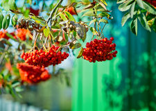 Mountain ash  tree with ripe berry on a background of grass and sky. Branch with berries of sea buckthorn and green leaves on a background of grass and sky Stock Photography