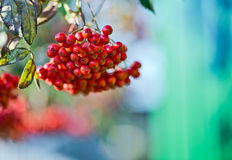 Mountain ash  tree with ripe berry on a background of grass and sky. Branch with berries of sea buckthorn and green leaves on a background of grass and sky Royalty Free Stock Image