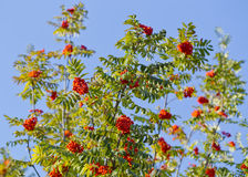 Mountain ash  tree with ripe berry on a background of grass and sky. Branch with berries of sea buckthorn and green leaves on a background of grass and sky Royalty Free Stock Photography