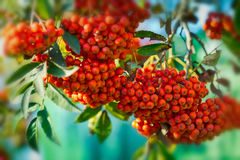 Mountain ash  tree with ripe berry on a background of grass and sky. Branch with berries of sea buckthorn and green leaves on a background of grass and sky Stock Photos