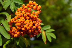 Mountain ash tree with ripe berry Royalty Free Stock Photos