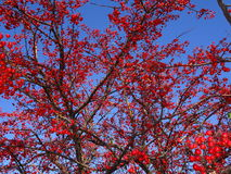 Mountain ash tree Sorbus americana with red berries Royalty Free Stock Photo