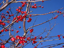 Mountain ash tree Sorbus americana with red berries Stock Photos