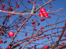 Mountain ash tree Sorbus americana with red berries Stock Photography
