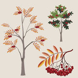 Ordinary mountain ash in various options with a le Royalty Free Stock Images