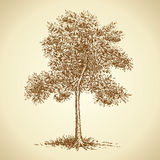 Mountain ash. Vector sketch Royalty Free Stock Photography