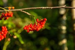 Mountain ash wild tree. Berries of the mountain ash growing in the autumn wood Royalty Free Stock Images