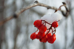 Mountain ash winter. Red mountain ash in winter park royalty free stock photography