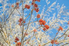 Mountain ash in winter on sky background Stock Photography