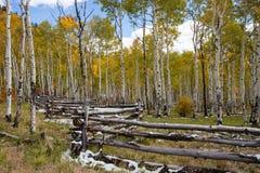Mountain Aspen Grove Royalty Free Stock Photo