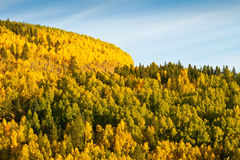 Mountain of Aspen Trees in Autumn Royalty Free Stock Images
