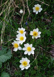 Mountain Avens Royalty Free Stock Image