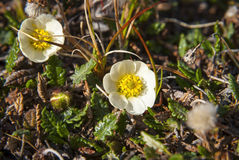 Mountain avens (Dryas octopetala) blossoming during arctic summe Stock Photo