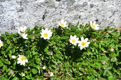 Mountain avens. Eightpetal mountain-avens Dryas octopetala growing by a rock Royalty Free Stock Photography