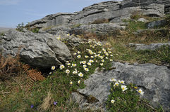 Mountain Avens on Limestone Pavement. Limestone Pavement of The Burren with Mountain Avens - Dryas octopetala, and Violets Royalty Free Stock Photos