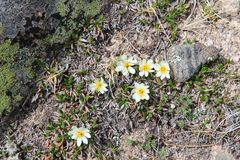 Mountain avens Royalty Free Stock Images