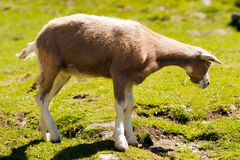 Mountain Baby Goat on Green Grass Royalty Free Stock Images