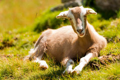Mountain Baby Goat on Green Grass Stock Photography