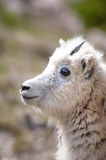 Mountain baby goat Royalty Free Stock Photos