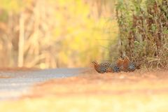 Mountain Bamboo Partridge stock images