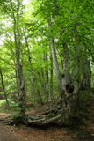 Mountain beech forest Royalty Free Stock Photography