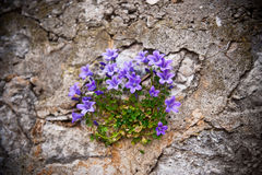 Mountain bell-flowers. Mountain  bell-flowers close-up on a rock Stock Photography