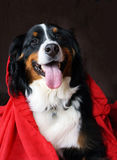 Mountain bernese with a red hoodie Royalty Free Stock Photo