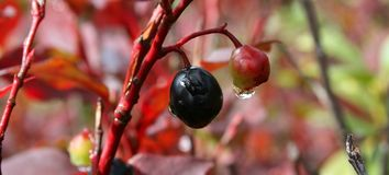 Mountain Berry Stock Images