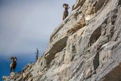 Mountain bighorn in Canada royalty free stock photo