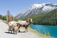 Mountain Bighorn Sheep Royalty Free Stock Photography