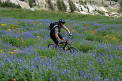 Mountain bike. A mountain biker in the mountains on a trail through wildflowers using motion panning for movement stock photography
