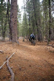 Mountain biker on conifer forest trail Royalty Free Stock Photography
