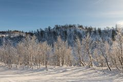 Mountain birch forest in winter landscape with snow and sunlight, in the mountains in Setesdal, Norway Stock Images