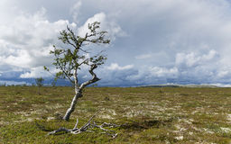 Mountain birch standing strong Stock Image