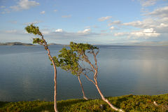 Mountain birch trees by the sea Royalty Free Stock Photography