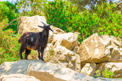 Mountain black goat Stock Images
