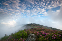 Mountain Bloom Catawba Rhododendron Roan Highlands. Catawba Rhododendron paint the mountainsides pink and magenta during the annual bloom in the Roan Highlands Stock Images