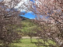 Mountain through blooming trees Royalty Free Stock Images