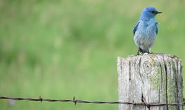Mountain Blue Bird Royalty Free Stock Images